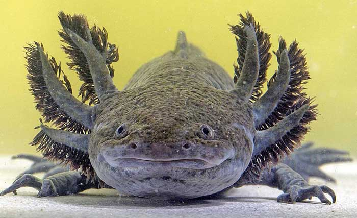 Melanistic axolotl (Ambystoma mexicanum) in tank