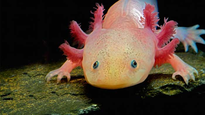 ¿Alguna vez miraste un axolotl a los ojos?