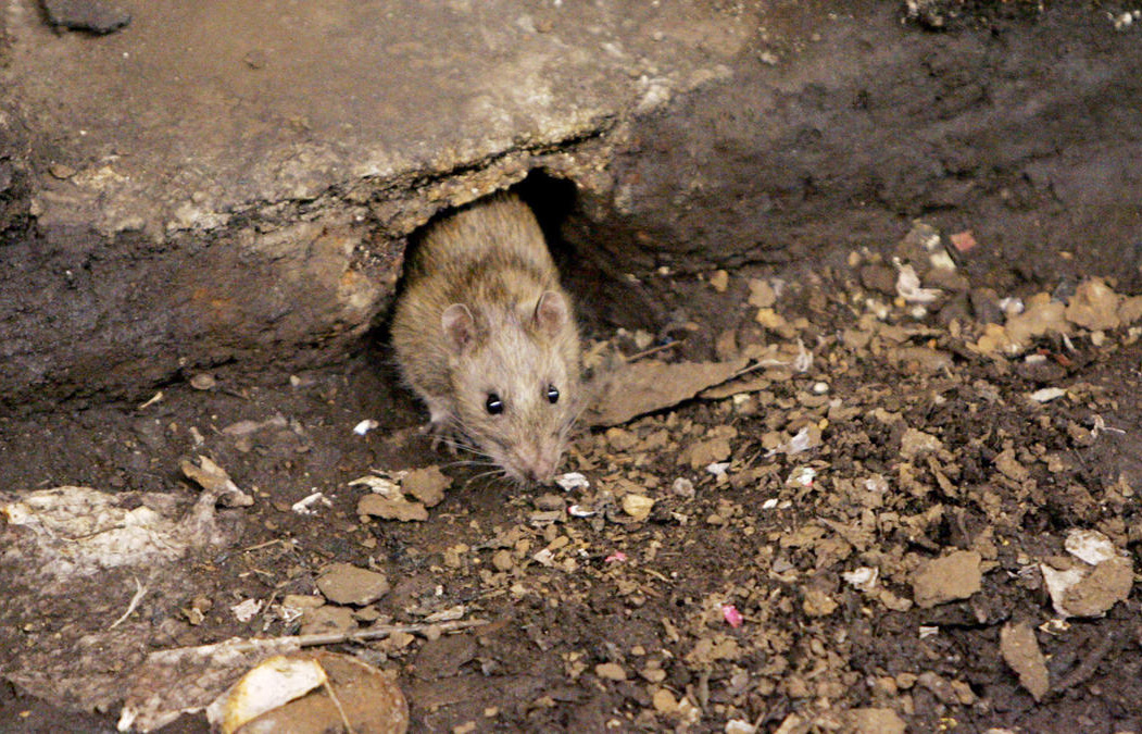Vivir entre ratas